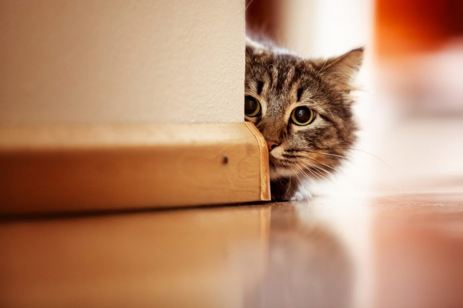 shy indoor cat hiding behind a wall