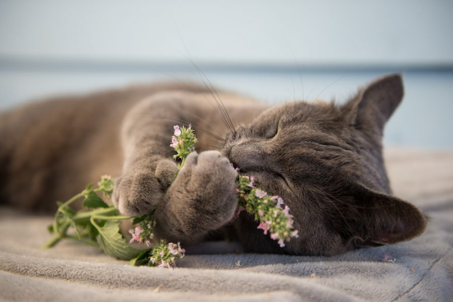 cat with a catnip - Catipilla Blog